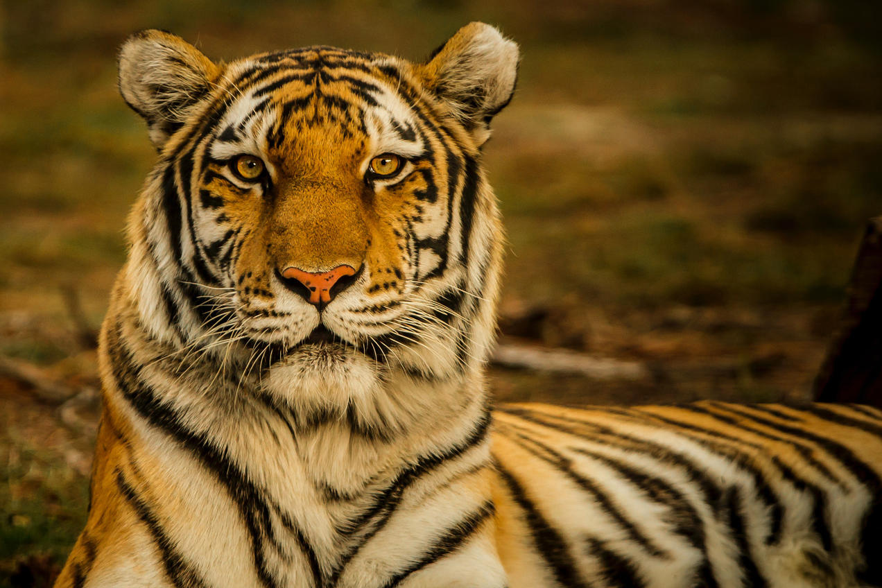 International Tiger Day: History and Significance